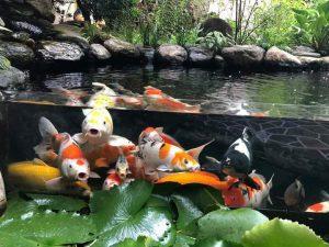 Ý nghĩa phong thủy của hồ cá Koi